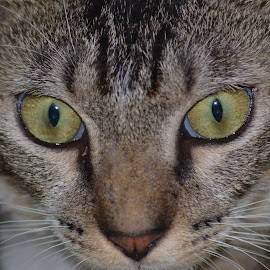 Cat Portarits by Renie A. Priyanto - Animals - Cats Portraits ( #cat #animal #catportrait #portraits #cats )