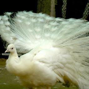 white beauty.. by Harshit Bansal - Animals Birds ( bird, zoo, beautiful, white, peacock )