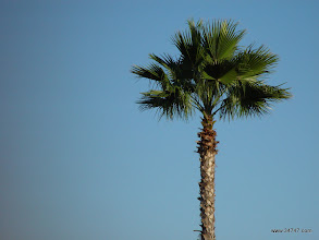 Photo: Mexican Fan Palm, Celebration Blvd, Celebration, FL