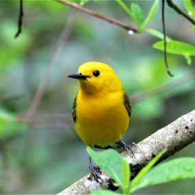 Prothonotary Warbler by Hal Gonzales - Animals Birds ( spring, springtime, singing, bird, songbird,  )