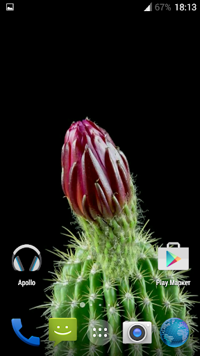 Cactus. Video Wallpaper