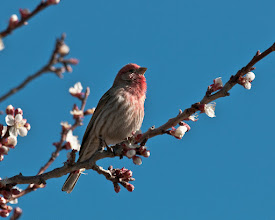 Photo: House finch in blooming apricot tree