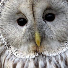 Owl by Welsh Hawk - Uncategorized All Uncategorized