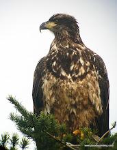 Photo: Juvenile Bald Eagle, Boundary Bay, B.C.