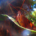 Castniinae butterfly