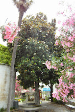 Photo: Oleandry i drzewo , bardzo ładne, tylko za Boga nie doszłam co to takiego