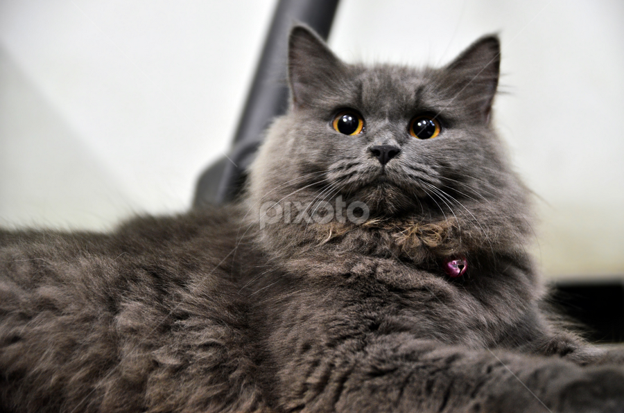 miawww... by Saeev Zuhri - Animals - Cats Portraits ( cats, animals, kitten, miaw, kucing )