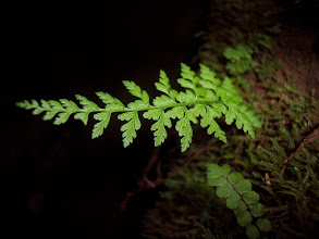 Photo: Asplenium billotii