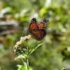 Monarch (aka Wanderer)