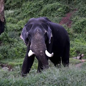 elephant by Sankar GM - Animals Other Mammals ( elephant )