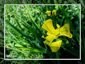 Photo: Iris des marais, Iris pseudacorus