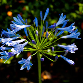 Blue Flowers by Joshua Meyer - Novices Only Flowers & Plants ( blue flowers )
