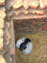 Photo: Puppies born in one corner of the ruins