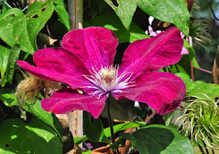 Photo: Clematis 'Rouge Kardinal' closeup