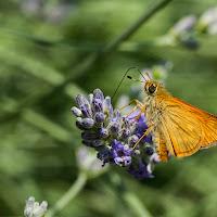 Farfalla di