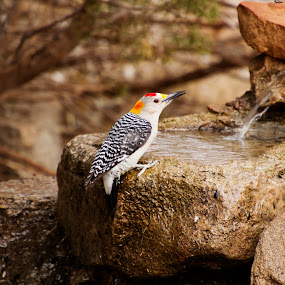 Woodpecker on fountain by Scott Thomas - Animals Birds ( fountain, nature, bird, woodpecker, water )
