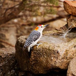 Ladderback woodpecker on a fountain.jpg