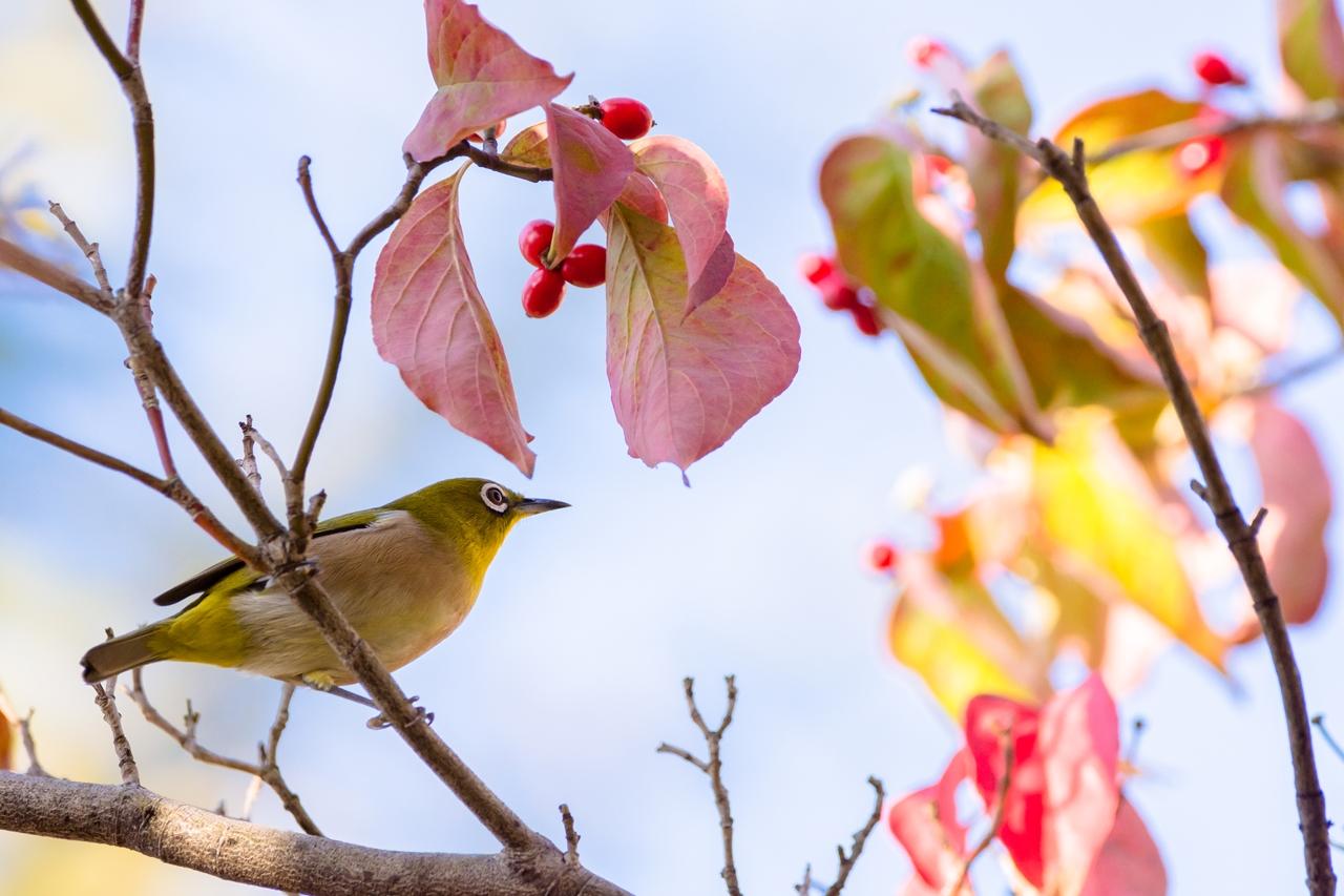 Photo: 高鳴り Feel a rush of excitement.  あっちかな こっちかな 選び放題 色づく果実に 胸が高鳴る  Japanese White-eye. (メジロ)  #birdphotography #birds #cooljapan #kawaii #nikon #sigma  Nikon D7200 SIGMA 150-600mm F5-6.3 DG OS HSM Contemporary  大塩貴文 写真展『まなざし』 2015年11月20日[金]-29日[日] < http://islandgallery.jp/12134 >