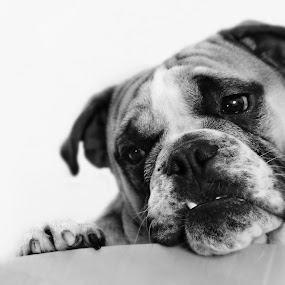 Where's The Beef? by Ron Azevedo - Animals - Dogs Portraits