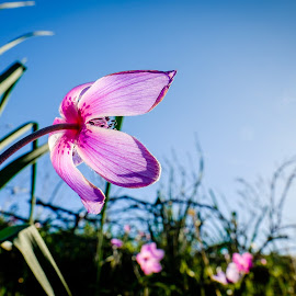 Anemone Coronaria by Theodoros Theodorou - Flowers Flowers in the Wild ( wild flower, 16mm f1.4 r wr, purple, fujifilm, anemone, x-t1, sun light, fujinon, cyprus, flower )