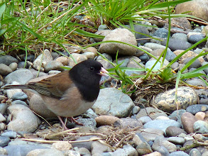 "Photo: Dark-eyed Junco ""Oregon"" Junco: http://www.allaboutbirds.org/guide/dark-eyed_junco/id"