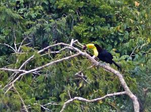 Photo: Fischertukan, auch Regenbogentukan genannt (Ramphastos sulfuratus, Keel-billed Toucan)  Aufgenommen aus großer Entfernung von der höchsten Pyramide in Tikal.