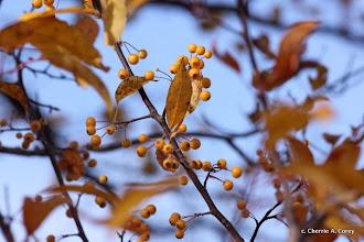 Photo: Pin cherry var.?