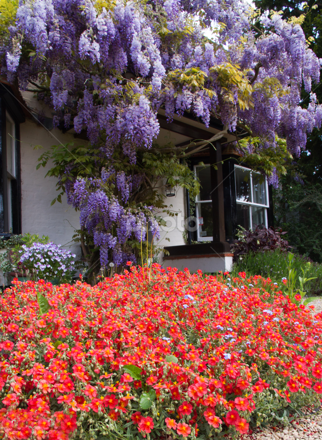 English country cottage by Gordon Bishop - Buildings & Architecture Other Exteriors ( cottage, door, carpet, house, flowers, rural, frontt, entrance, flower, wysteria, country )