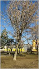 Photo: Arțar, paltin de câmp (Acer platanoides) - din Parcul Mr.1 - 2017.02.11