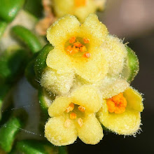 Photo: Thymelaea hirsuta, timelea barbosa