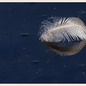 A feathery reflection by Richard Wicht - Nature Up Close Other Natural Objects ( tranquil, reflection, life, nature, floating, feather,  )
