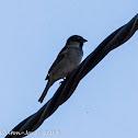 House Sparrow; Gorrtión Común