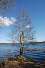 Photo: Antennträdet. Inte högt men det blev ett bra jordplan. Större delen av antennen hänger över vattnet.