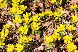 Photo: Spring flowers crawling their way up through dry autumn leaves, what better way of illustrating the spring/autumn theme for project 52?  This is Winter Aconite (Eranthis hyemalis), one of the very first garden flowers we get here in spring. Love it! Compared to last year, it is early, we still had lots of snow at this time of year.  For #2012PROJECT52 by +Giuseppe Basile and +Kate Church.