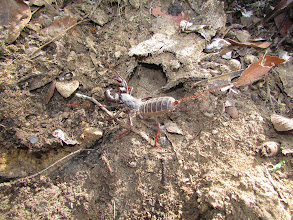 Photo: Whip Scorpion.