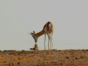 Photo: #023-Antilope Springbok à Etosha