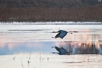 Photo: A sandhill flies over the lagoon at sunrise