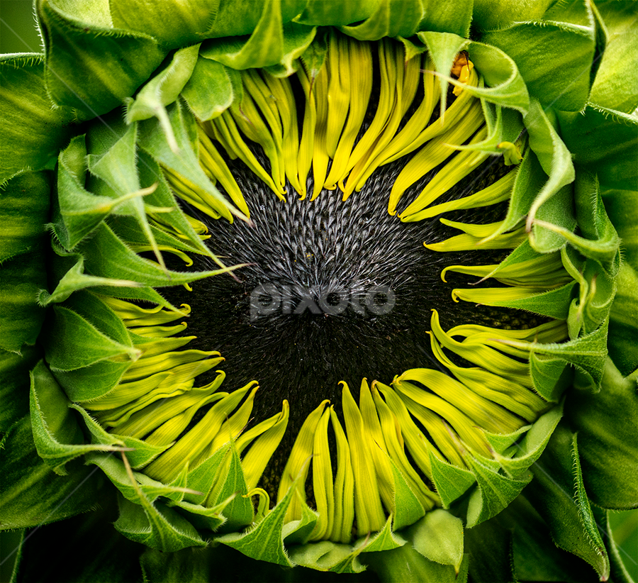 black seed sunflower by Marianna Armata - Nature Up Close Flowers - 2011-2013 ( center, green, seed, sunflower, yellow, marianna armata, black )