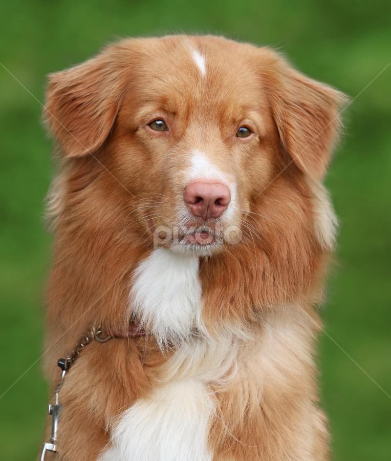 Family dog by Mia Ikonen - Animals - Dogs Portraits ( canine, gentle, pet, affectionate, finland, nova scotia duck tolling retriever, expressive, dog, mia ikonen )
