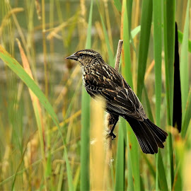 Female Red Wing Blackbird by Carol Leynard - Animals Birds ( female bird, reeds, marsh bird, red wing blackbird female )