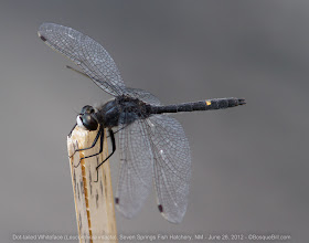 Photo: Dot-tailed Whiteface Dragonfly. This was a new county record for the species, which is always fun to get. Found along a small pond at the fish hatchery up in the Jemez Mountains of NM at about 7800 feet elevation.