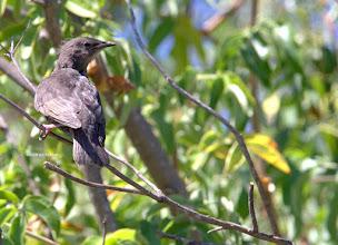 Photo: ?? Juvenile Starling?