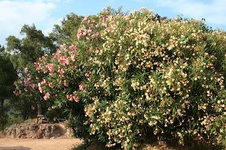 Photo: Baladres (Nerium oleander)