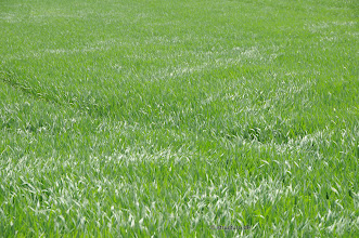 Photo: junges Getreidefeld im Wind