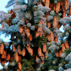 Pinecone Cluster by Rose McAllister - Nature Up Close Other Natural Objects ( tree, green, pine, cones,  )