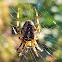 Cross Orbweaver Spider(female)