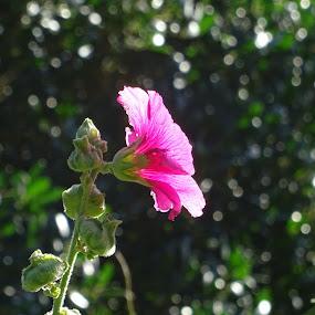 hollyhock bokeh by Arif Burhan - Flowers Flower Gardens ( hollyhock, pink, garden, bokeh )