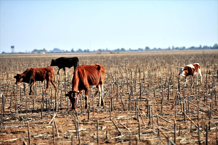 Scrawny cattle graze on stalks in Delareyville, in North West, a province badly hit by drought. File Photo