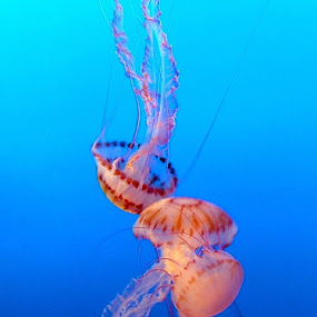 Jellies by Elaine Tweedy - Landscapes Underwater