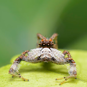 Spider with  moustache (Portia fimbriata) by Sunny Joseph - Animals Insects & Spiders